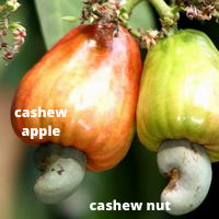 cashew apple and nut on tree